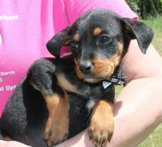 Meet Amigo 20238 a Petfinder adoptable Shepherd Dog | Prattville, AL | Amigo is an 8-week-old male Shepherd/Rottweiler mix. He is black with tan markings and has just a...
