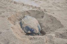 Turtle nesting in Ras al Jinz, #oman