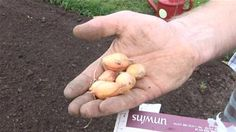 How To Plant Onions (Growing Fruit & Vegetables)
