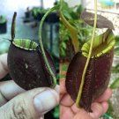 Nepenthes [(viking x Ampullaria) x Ampullaria Black Miracle] x (rafflesiana x Ampullaria Black Miracle) More than 150 different types of insects have been identified as victims, but also arachnids (spiders and mites), mollusks (snails and slugs), earthworms, and small vertebrates (small fish, amphibians, reptiles, rodents, and birds) are known to have been caught. The largest animal ever found trapped in one of the plants was a small rat.