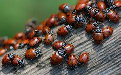 Ladybugs - Flickr - Photo Sharing!