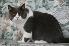 Rasseportrait: Die Britisch Kurzhaar ist eine ruhige, unkomplizierte Katze. Hier gibt es mehr Infos zu der beliebten Rasse!