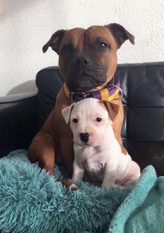 Toosie & Bobbie #staffordshirebullterrier #engelsestafford