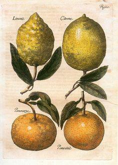 File:Elßholtz Diaeteticon 1682 Zitrusfrüchte.jpeg