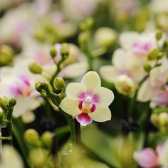 How to Care for Mini Phalaenopsis Orchids - Because mini Phalaenopsis orchids are usually sold in smaller pots, they require considerably less - Orchid Pot, Moth Orchid, Orchid Plants, All Plants, Orchid Flowers, Indoor Orchids, Orchid Seeds, Red Orchids, Purple Roses