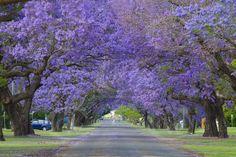Jacarandás numa avenida em Grafton, Nova Gales do Sul, Austrália