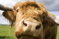 Highland Coo in Dundee. Fluffy Cows, Highland Cattle, Contemporary Photographers, Scrapbook Journal, Dundee, The Ranch, Scotland, Photo Galleries, Creatures