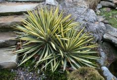 The many uses of yucca -a survivalist's plant -from first ways