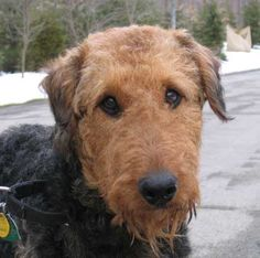 In 2008, our Cleveland office adopted an Airedale Terrier named Leo. (As of April 2012, Leo is 6 years old.) #pets