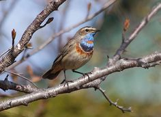 . Red-spotted Bluethroat