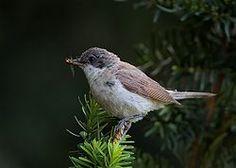 La curruca zarcerilla1 (Sylvia curruca) es una especie de ave paseriforme de la familia sylviidae.