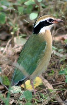 The Indian Pitta is a resident of India and the Himalayas but migrates to Sri Lanka in the winter.