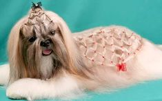 Penteados dog grooming para pelo comprido - Pesquisa do Google