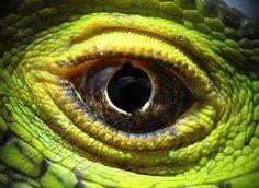 Macro Iguana Eye