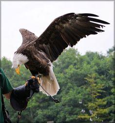 Adler, Tier, Vogel, Feder, Symbol, Wild, Freiheit