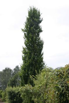 1000 images about columnar trees for tight spaces on for Trees for tight spaces