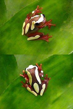 Clown tree frog--so freakin' cute!