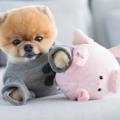 Teacup Pomeranian is a small, active and adorable dog breed. If you are looking for Teacup Pomeranian puppy, you should consider these Super Cute Puppies, Baby Animals Super Cute, Cute Baby Dogs, Cute Little Puppies, Cute Dogs And Puppies, I Love Dogs, Cute Animals, Jiff Pom, Pom Dog