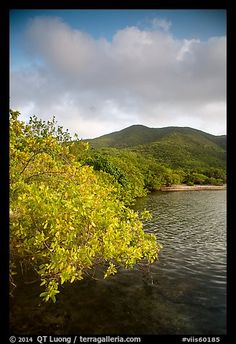 Shore tree, Great Lameshur Bay, and green hills. Virgin Islands National Park,Part of gallery of color pictures of US National Parks by professional photographer QT Luong, available as prints or for licensing. Us Virgin Islands, British Virgin Islands, Virgin Islands National Park, Us National Parks, St Thomas, Caribbean Sea, Colorful Pictures, Picture Photo, Ocean