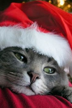 This cat is ready for Christmas!
