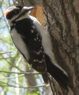 An analysis of the downy woodpecker in the united states and southern canada