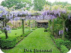 Blauwe regen snoeien wisteria: werkwijze, uitleg en foto's van de snoei