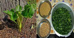 Palak Paneer, How To Dry Basil, Herbs, Ethnic Recipes, Food, Meal, Essen, Herb, Hoods