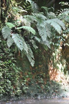 Cystodium sorbifolium - The only species in the genus. Used to be placed in the tree ferns.