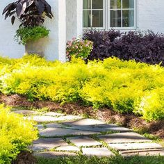 Invigorate your landscape with the year-round color of our Sunshine Ligustrum Shrubs! Southern Landscaping, Shrubs For Landscaping, Garden Shrubs, Landscaping Design, Sunshine Ligustrum, Shrubs For Sale, Yellow Plants, Fast Growing Trees, Evergreen Shrubs