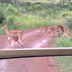 Impala Impala, Kangaroo, South Africa, Animals, Baby Bjorn, Animales, Animaux, Impalas, Kangaroos