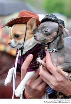 giddy up bigger doggie!!! #chihuahua #teacupchihuahua #chihuahuacolors