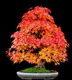 Japanese maple bonsai is an ideal tree for bonsai. A tree with different coloured leaves during different season. Learn how to prune this bonsai tree properly. Red Maple Bonsai, Japanese Maple Bonsai, Japanese Red Maple, Juniper Bonsai, Maple Tree, Bonsai Acer, Bonsai Seeds, Tree Seeds, Mini Bonsai