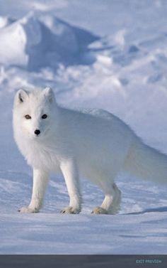 Beyaz tilki ☺