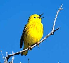 Yellow Warbler - Lesňáček žlutý