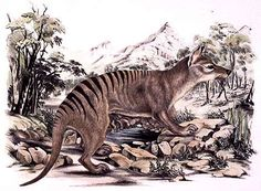 Thylacine is the real name for Tasmanian tiger. It was the largest known carnivorous marsupial of modern times. It is believed to have become extinct in the Extinct Animals, Prehistoric Animals, Bizarre Animals, Majestic Animals, Tasmanian Tiger, Akc Breeds, Tiger Art, Cryptozoology, Australian Animals