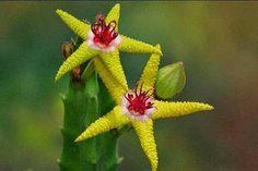 """STAPELIA FLAVOPURPUREA  A Stapelia flavopurpurea é encontrada na Namíbia e talvez possa fazer com que você se questione: """"Como uma estrela-do-mar veio parar no deserto?"""". Mas não se engane, isso se deve ao aspecto dessa flor, que é idêntico ao de uma estrela-do-mar."""
