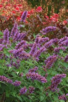 Agastache Blue Boa Aka Hyssop Hummingbird Mint Erfly And Attractor