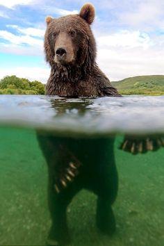 Bear wading...............