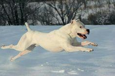 Dog Argentino, Pitbulls, Dogs, Animals, Dogo Argentina, Devil, Animales, Pit Bulls, Animaux