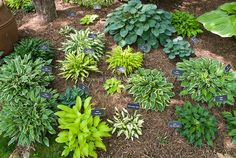 Plant labels signs showing names of hostas in hosta garden in shade under trees…
