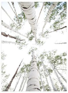 """""""Aspens at Altitude"""" - Limited Edition Art Print by Kaleb Nimz in beautiful frame options and a variety of sizes."""