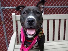 TO BE DESTROYED - 12/02/14 TO BE DESTROYED - 11/23/14 Manhattan Center -P My name is SASSY. My Animal ID # is A1015370. I am a spayed female black and white staffordshire mix. The shelter thinks I am about 2 YEARS old. I came in the shelter as a STRAY on 09/26/2014 from NY 10456, owner surrender reason stated was STRAY. https://www.facebook.com/Urgentdeathrowdogs/photos/a.611290788883804.1073741851.152876678058553/897643200248560/?type=3&theater