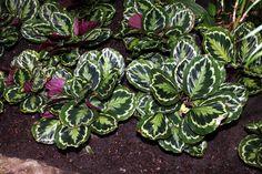 calathea-roseopicta