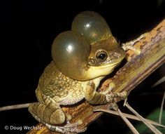 Pepper Tree Frog - Brazil