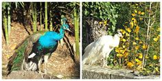 Peacocks, ducks and childhood memories of Plasencia