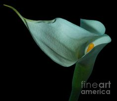 """""""Curvacious"""" Copyright Heather J. Kirk The gorgeous and sensual curves of a white calla lily."""