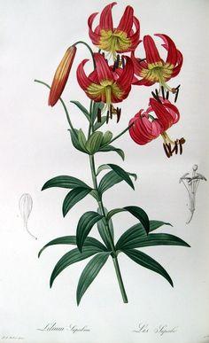 Lilium  (Lithographie, Pierre-Joseph Redoute)