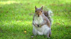 British Wildlife, Squirrel, Nature Photography, Facebook, Grey, Animals, Gray, Animales, Animaux