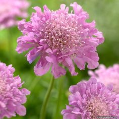 Commonly known as a Pincushion flower, Ritz Roze Scabiosa blooms delicate pink ruffled flowers that last for weeks. It's sweet blossoms attracts butterflies and hummingbirds. Scabiosa makes an excellent cut flower and is deer resistant.