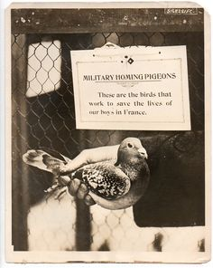 military homing pigeon